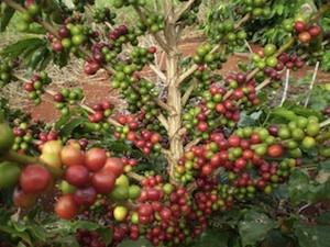 Saiba tudo sobre o curso de cafeicultura da ETEC.