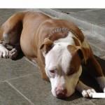 1625 pitbull o 150x150 Fotos de cães da raça Pitbull