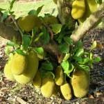 17109 jaca 7 150x150 Jaca: Fruta Rica em Saúde
