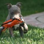 Esse cão pode ser treinado para ser um segurança patrimonial (Foto: Divulgação)