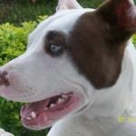 O Pitbull é um cachorro que pode ser muito obediente (Foto: Divulgação)