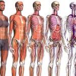 Fotos Corpo Humano - Anatomia Humana 13