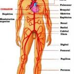 Fotos Corpo Humano - Anatomia Humana 14