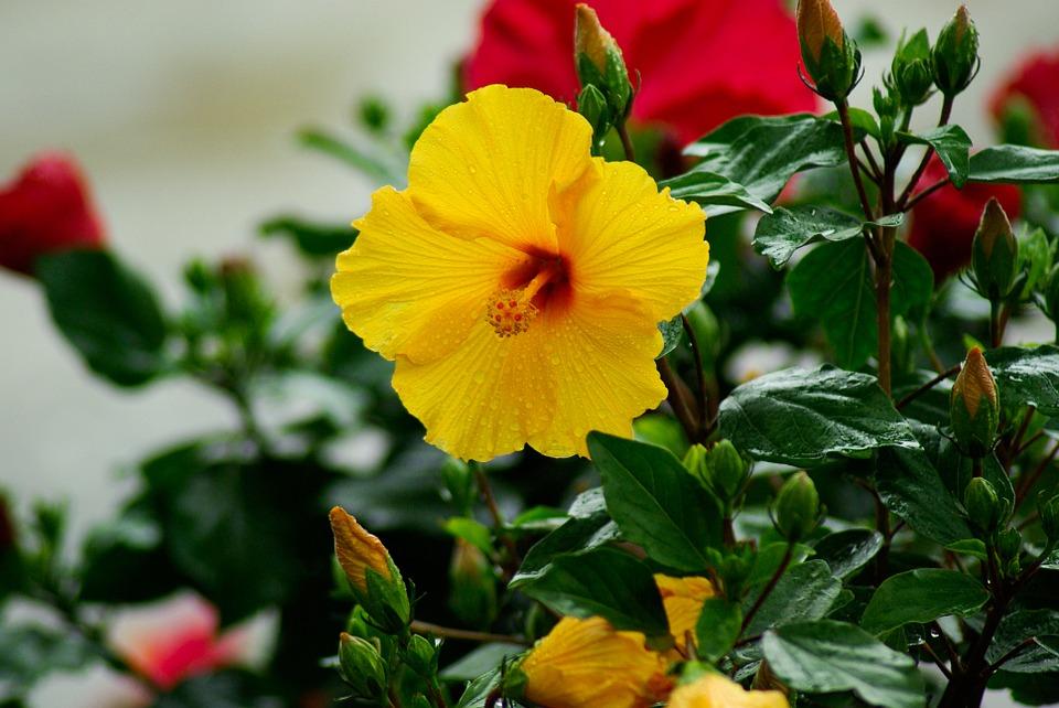 Ch de hibisco como fazer - Noms de fleurs et plantes ...