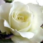 Fotos-de-Rosas3