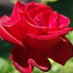 Fotos-de-Rosas4
