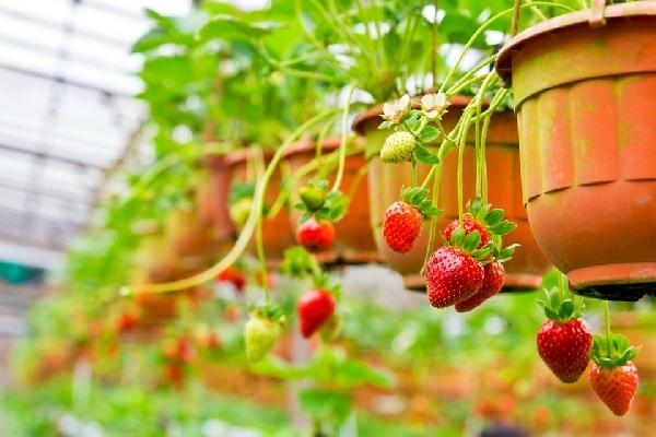 Morango pode ser cultivado em vasos (Foto: Divulgação)