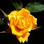 foto-rosa-amarela-01