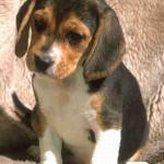 Beagle filhote (Foto: Divulgação)