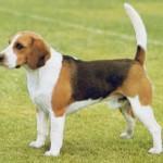Beagle pequeno (Foto: Divulgação)