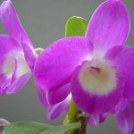 Como Cuidar De Orquídeas No Inverno
