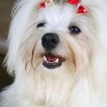 raça-de-cachorro-maltez