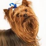 raça-de-cachorro-yorkshire-1
