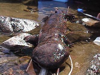 Salamandra enorme (Foto: Divulgação)