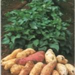 Os benefícios da batata doce para saúde