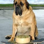 Descubra como lidar com a obesidade canina