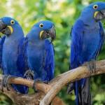 Arara Azul. (Foto: Divulgação)