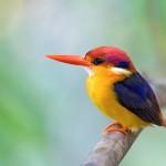 Black Backed Kingfisher. (Foto: Divulgação)