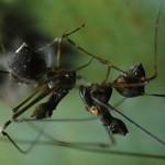 Archaeidae conhecidas como aranhas assassinas ou pelicano  (Foto:Divulgação)