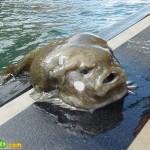 Habitante das águas profundas do mar da Austrália  (Foto:Divulgação)