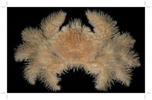 Kiwa hirsuta. Este caranguejo é coberto por cerdas  (Foto:Divulgação)
