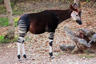 Ocapi é um animal nativos das florestas  (Foto:Divulgação)