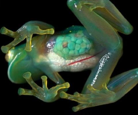 Centrolenidae ou rã de vidro (Foto:Divulgação)