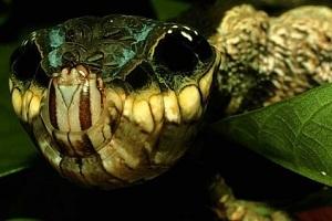 Hemeroplanes cartepillar é uma lagarta  (Foto:Divulgação)