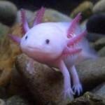 Peixe com pernas parecidas com a salamandra