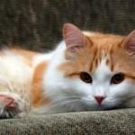 Gato amarelo lindo e fofo (Foto:Divulgação)