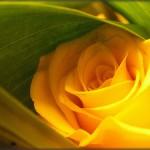 Rosa amarela (Foto:Divulgação)