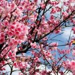 Flor de Cerejeira (Foto:Divulgação)