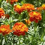 Lindas Flores de Tajetes (Foto:Divulgação)