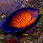 Coral Beauty (Foto:Divulgação)