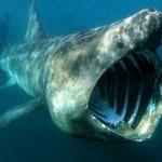 Tubarão Elefante (Foto:Divulgação)