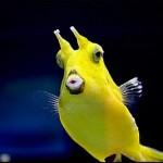 Peixinho com Chifres (Foto:Divulgação)