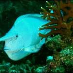 Peixe Azul (Foto:Divulgação)