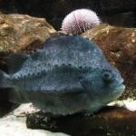 Lumpfish (Foto:Divulgação)