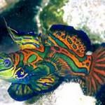 Peixe Mandarin, exótico pelas cores que possui (Foto:Divulgação)