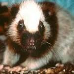 Crateromys Paulus, animal da Filipinas (Foto:Divulgação)
