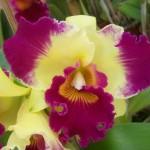 Orquídeas rosa e amarela (Foto:Divulgação)