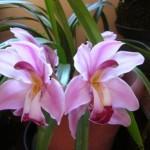 Orquídeas rosa (Foto:Divulgação)