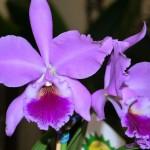 Orquídeas rosas (Foto:Divulgação)