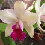 Flor Orquídea (Foto:Divulgação)