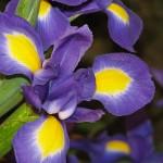Orquídea roxa e amarela (Foto:Divulgação)