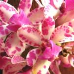 Orquídeas na cor rosa (Foto:Divulgação)