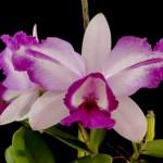 Orquídeas rosa com branca (Foto:Divulgação)