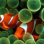 Peixe palhaço no fundo do mar (Foto:Divulgação)