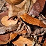 Sapo camuflado entre as folhas.