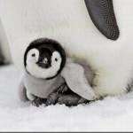 Filhotinho de Pinguim.